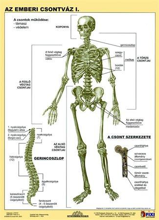 """STIEFEL Tanulói munkalap, A4, STIEFEL """"Az emberi csontváz"""""""